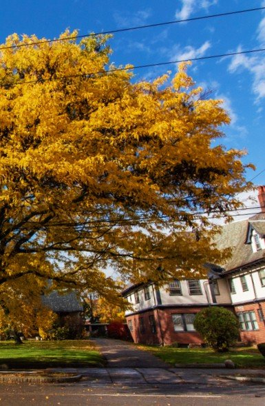 Yellow leaves on a tree in Watertown MA